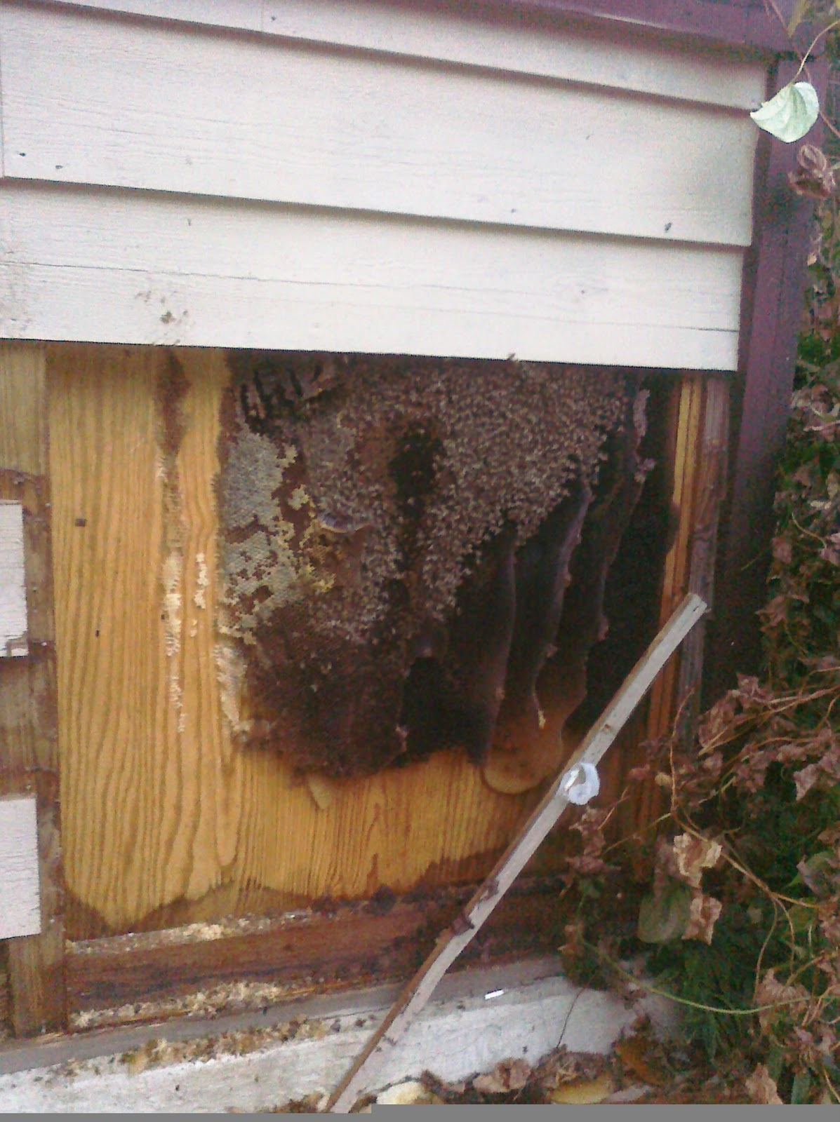 honey bee swarm rescue