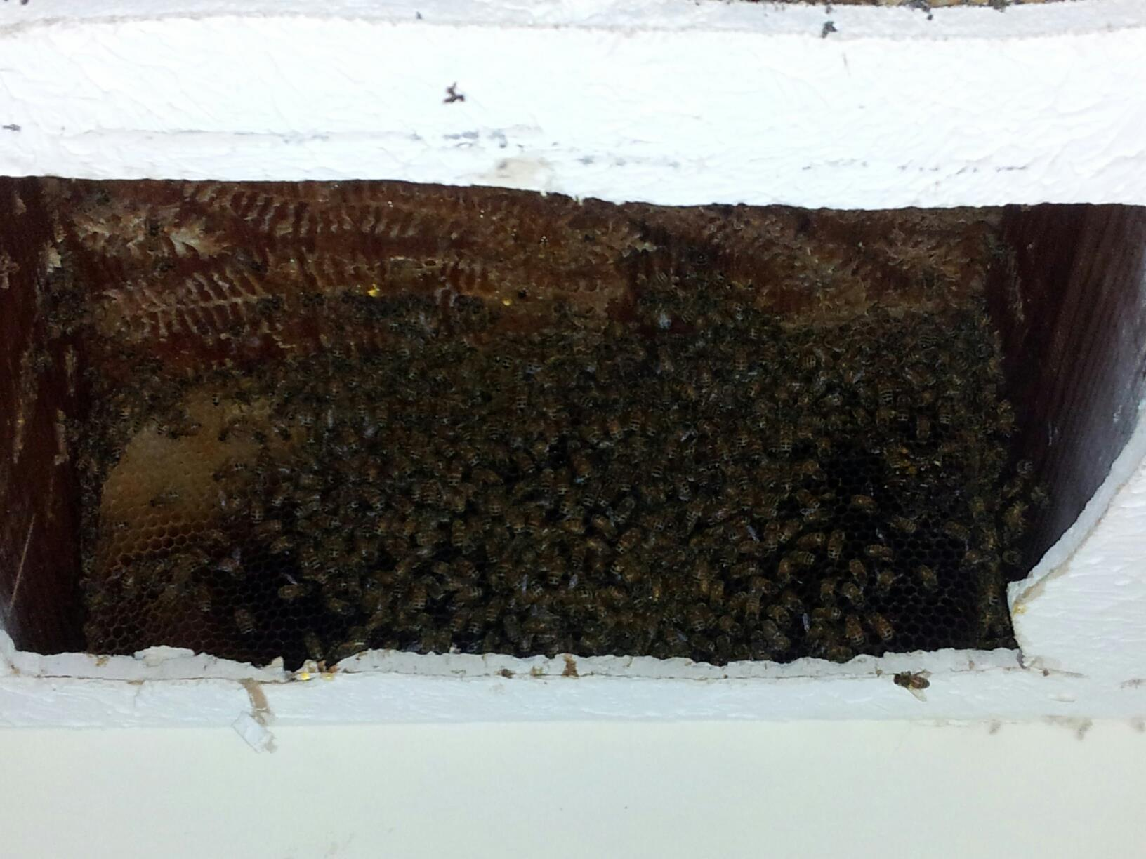 honey bee removal free