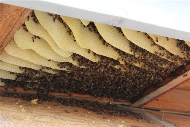 honey bee removal company