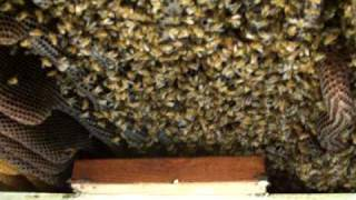 honey bee rescue Auburn GA