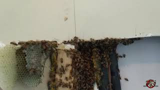 honey bee removal free Bluffton GA